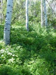 Wolf Creek Aspen Community Seed Mix
