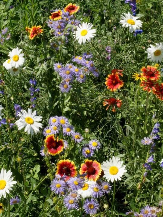 Mountain Wildflower Mix