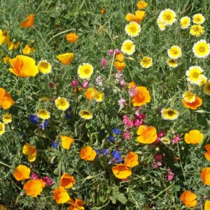 Southwest Native Wildflower Mix