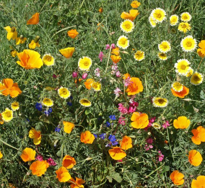 Southwest Native Wildflower Mix