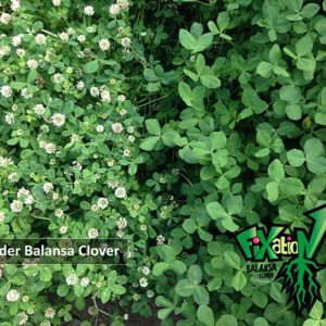 Fixation Balansa Clover