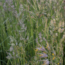 Orchardgrass