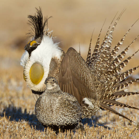 sage grouse initiative utah