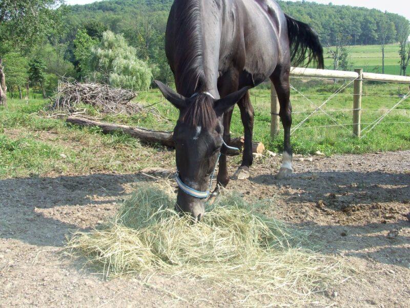 teff grass