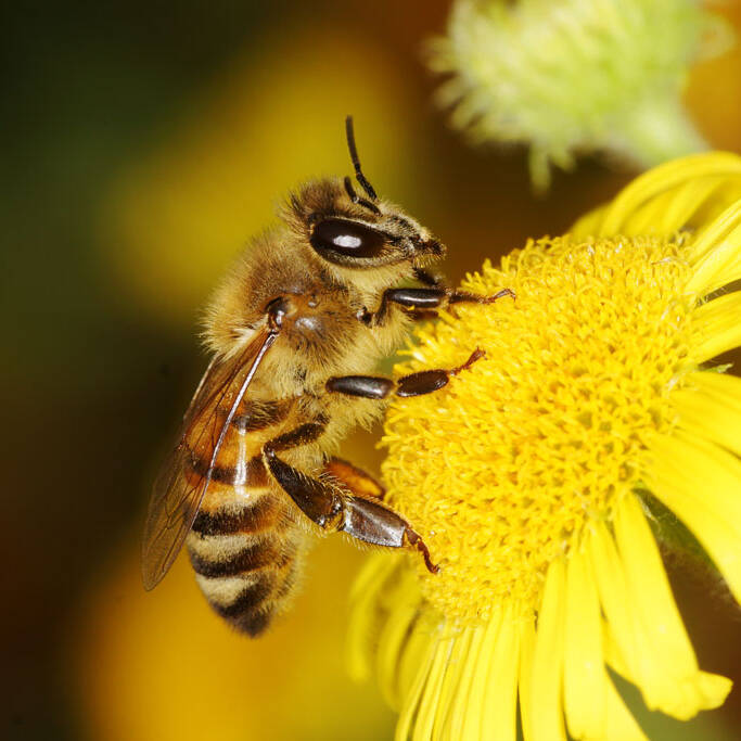 Honey Bee Pollinators