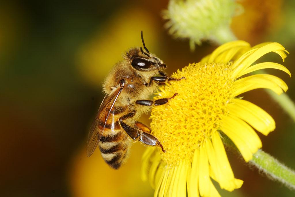 Honey Bee Pollinators