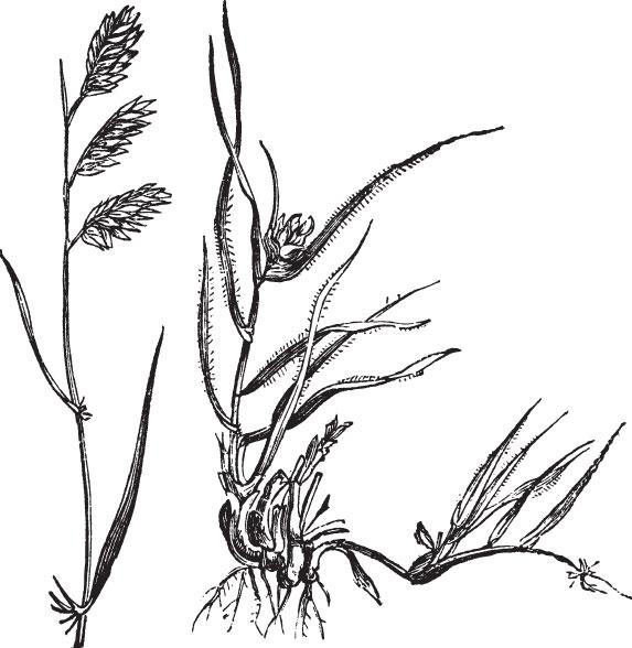 Buffalograss, Texoka, Sundancer