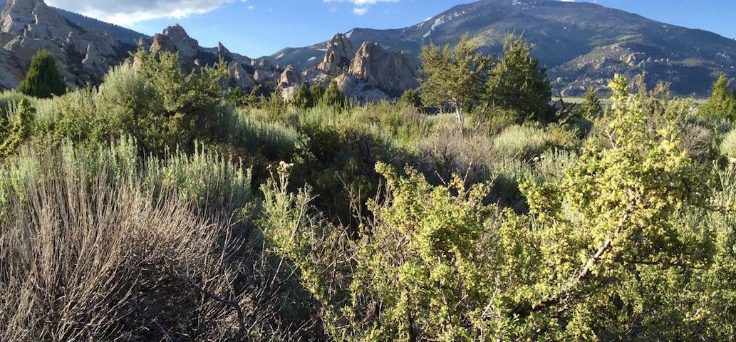 Antelope Bitterbrush and Mountain Big Sagebrush
