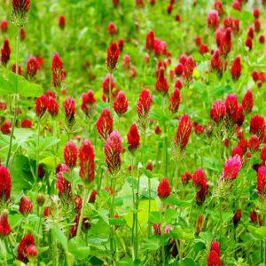 Crimson clover seed
