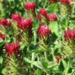 crimson clover seeds