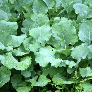 forage kale seed cover crop