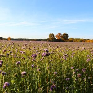 phacelia seed for cover crops
