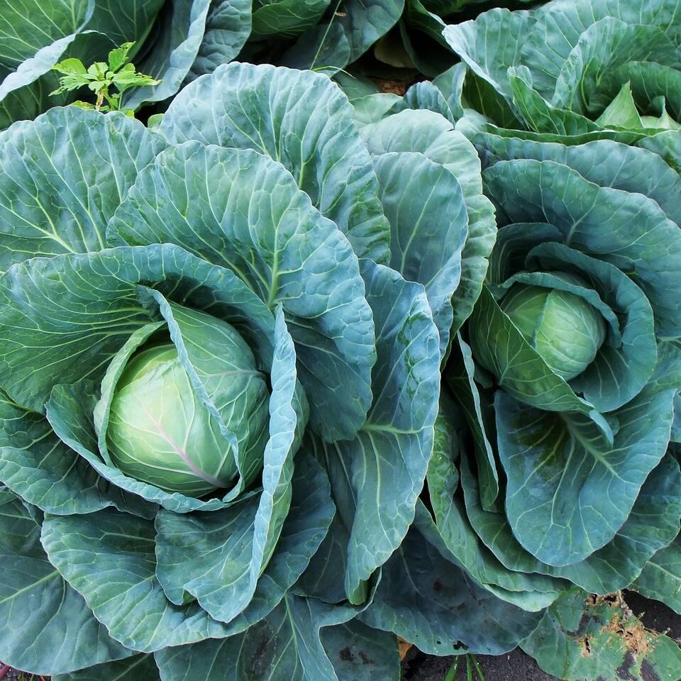 Forage Cabbage