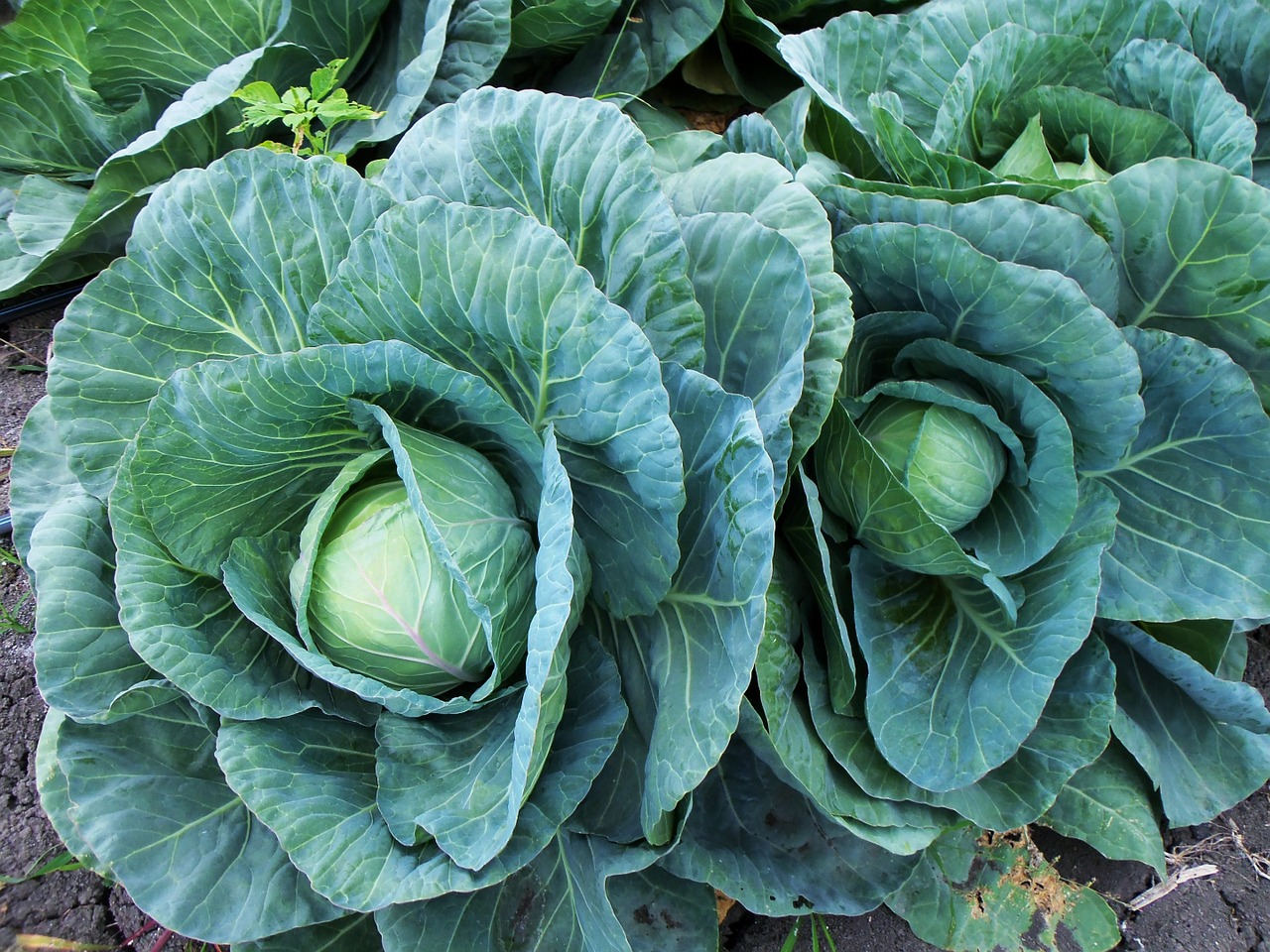 Forage Cabbage