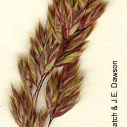 muttongrass