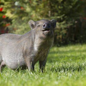 pig and hog pasture mix