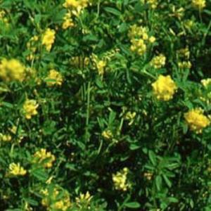 Falcata Alfalfa