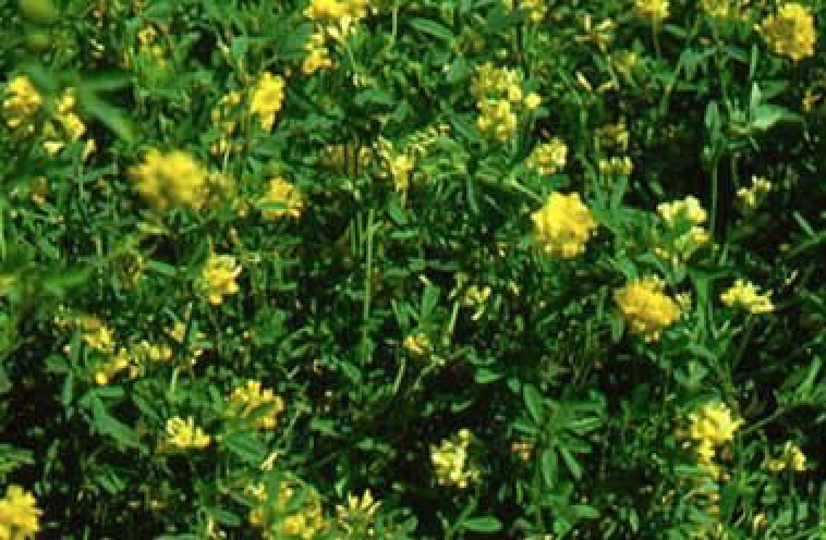 Falcata Alfalfa Medicago Sativa Ssp Falcata Great Basin Seed