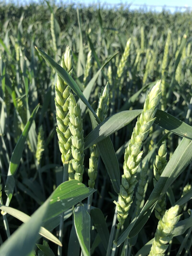 fall wheat, soft winter wheat