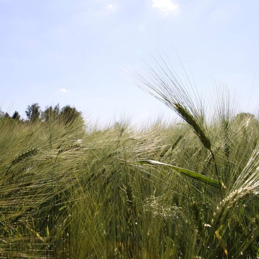 sunstar pride barley