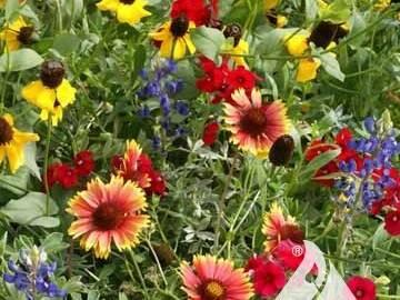 Texas/Oklahoma wildflower mix