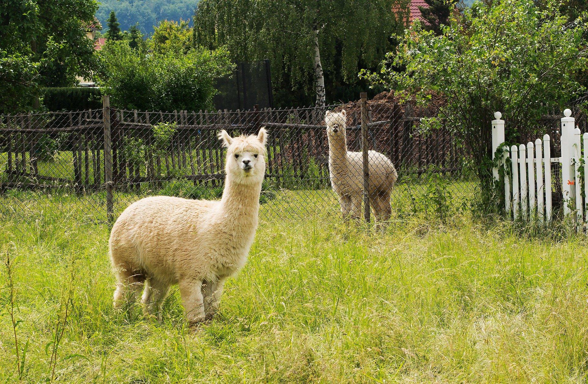 Alpaca and Llama Pasture Seed